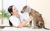 Veterinarian listens stethoscope pitbull puppy — Stock Photo