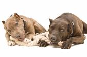 Two pit bull lying together gnaw rope — Stock Photo