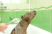 Pitbull puppy taking a shower — Stock Photo