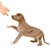 Puppy of pitbull gives a paw — Foto de Stock
