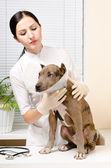 Pitbull puppy in a protective cone at the vet — Stock Photo