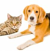 Beagle dog and cat Scottish Straight — Stock Photo