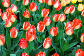 Field of unusual  tulips in the spring — Stock Photo
