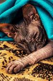 Sleepy kitten Sphynx — Stock Photo