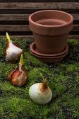Tulip bulb — Stock Photo