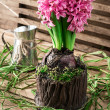 Blossoming flower of hyacinth — Stock Photo #65925381