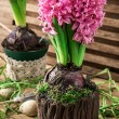 Blossoming flower of hyacinth — Stock Photo #65925409