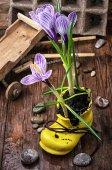 靴のクロッカスをストライプ紫 — ストック写真