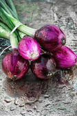 Beam harvest colored onions — Stock Photo