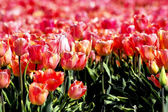 Mystic field of pink tulips — Stock Photo