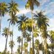 A forest of palm trees under a blue sky in Thailand — Stock Photo #55490377