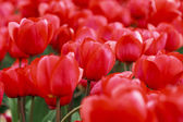 Tableau de tulipes rouges — Photo