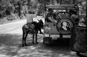 Village resident entertains tourists riding on a donkey. Black and white — Stock Photo