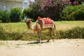 Camel on the beach. Turkey. — Stock Photo