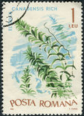 Postage stamp printed in Romania shows Canadian waterweed (Elodea canadensis) — Stock Photo