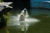 Polar bear (Ursus maritimus) in the water — Stock Photo