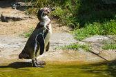 Magellanic penguin (Spheniscus magellanicus) — Stock Photo