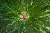 Pine needles on a branch close-up. Focus on foreground. Background. — Stock Photo