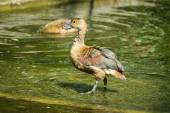 The lesser whistling duck (Dendrocygna javanica) — Stock Photo