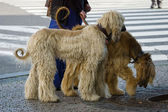 Two Afghan hounds on a leash. Walk in the city. — Stock Photo
