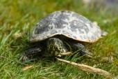 Turtle. The yellow-bellied slider (Trachemys scripta scripta). — Stock Photo