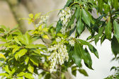 Flowering Pieris japonica (Japanese andromeda) — Stock Photo