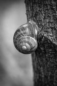 Snail on the tree. Black and white. — Stock Photo