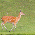 Sika deer (Cervus Nippon) running — Stock Photo #55625527