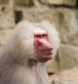 Male hamadryas baboon portrait — Stock Photo