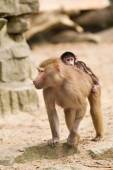 Adult hamadryas baboon with baby — Stock Photo