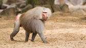 Male hamadryas baboon — Stock Photo