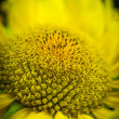 Sunflower close-up. — Stock Photo #52432573