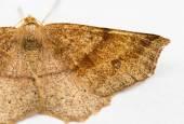 Moth resting. — Stockfoto