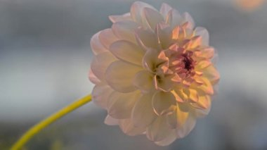 White dahlia blowing in the wind. — Stock Video