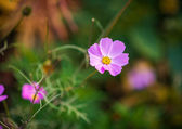 Pink cosmos flower. — Stock Photo