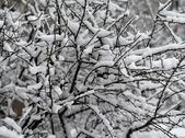 The snow-covered bushes. — Stock Photo
