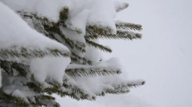Branch of tree with snow. — Stock Video