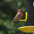 House Finch at the Bird Feeder — Stock Photo #58527467