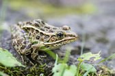 Leopard Frog — Stock Photo