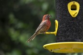 House Finch at the Bird Feeder — Stock Photo