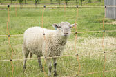White Sheep on a Farm — Fotografia Stock