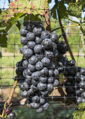 Pinot Noir Red Wine Grapes — Stock Photo