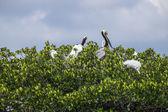 Bird Rookery in Florida Everglades — Stock Photo