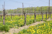 Winnica wiosną — Zdjęcie stockowe