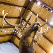 Taxidermy stuffed deer buck — Stock Photo