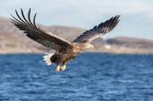 White-tailed Eagle in flight. — Stock Photo