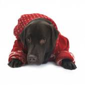 Labrador in red sweater — Foto de Stock