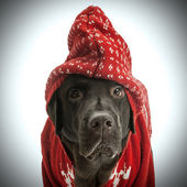 Labrador in red sweater — Photo