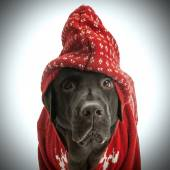 Labrador in red sweater — Stockfoto