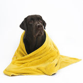 Labrador in yellow towel — Stock Photo